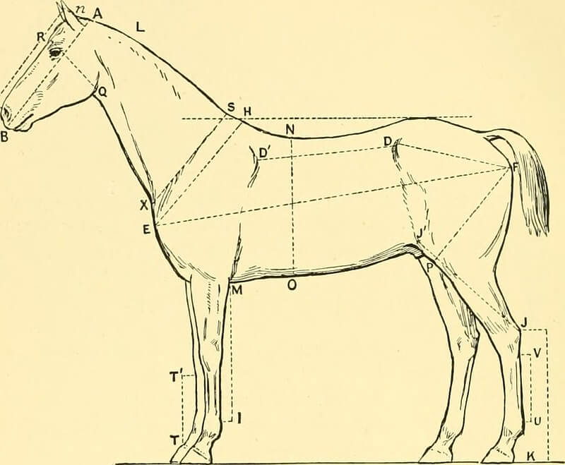Points and method shown about how to measure a horse